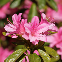 Organic Wild Azalea Flower Essence is derived from the Rhododendron Roseum plant